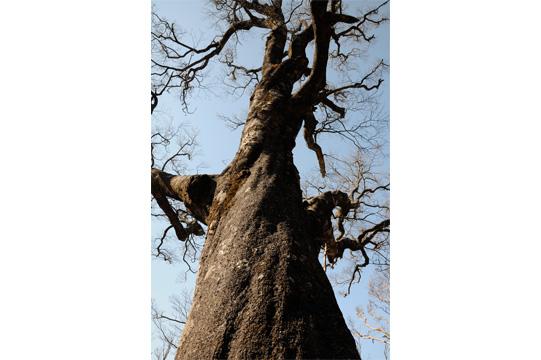 樹齢数百年のブナ