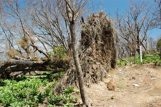 強風で倒れたブナの巨木
