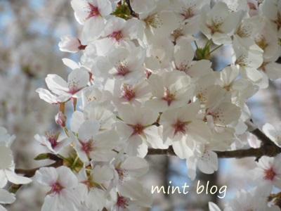 2013桜 001