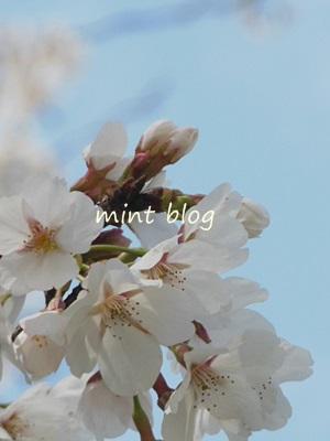 2013桜 002