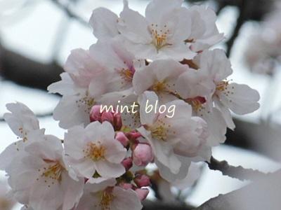 2013桜 014