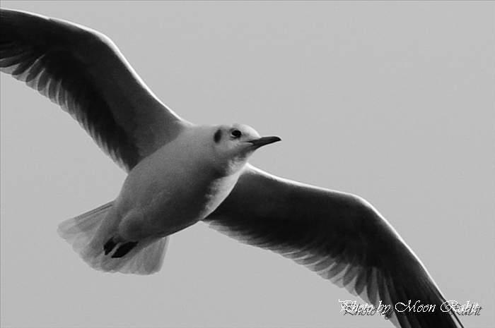 西条市の野鳥 カモメ(鴎) 愛媛県西条市北浜南 2009年1月15日