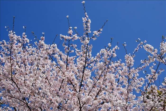 新居浜市の桜(サクラ) 愛媛県立新居浜病院のサクラ(桜) 愛媛県新居浜市本郷 2009年4月5日