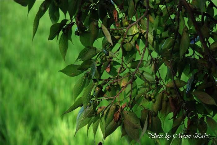 柳森神社の樹木 愛媛県西条市明理川79 2010年8月5日