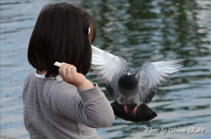 西条市の野鳥 西条高校お堀の鳩(ハト)とお子さん 愛媛県西条市明屋敷 2011年4月23日