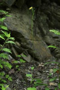 ミヤマアキノノゲシ