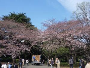 桜(種類不明)