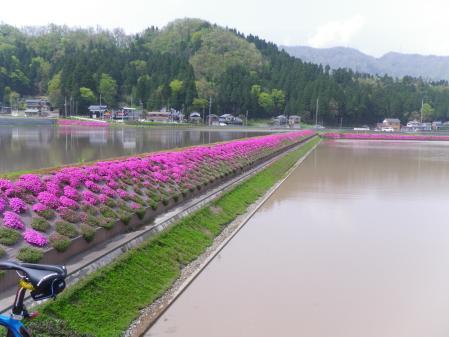 大野 芝桜