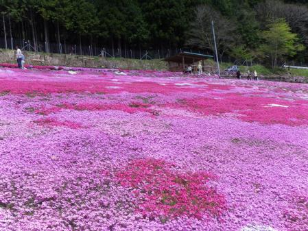 国田家の芝桜 横