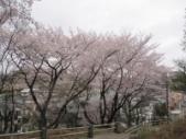 馬場町公園桜2010