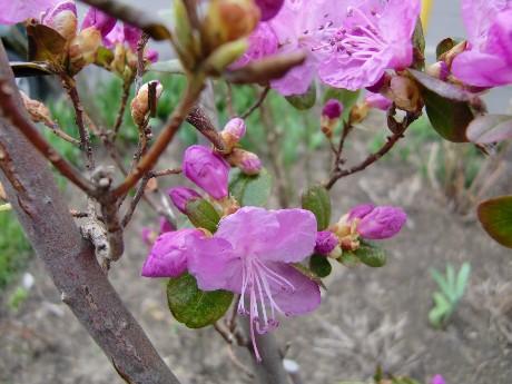 学名 Rhododendron dauricum