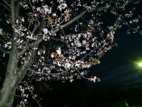 ちょっとさびしい夜桜