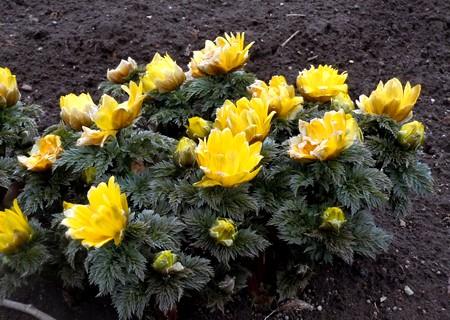 2月に咲く花、福寿草