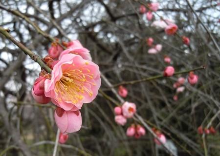 春の訪れ・・・ピンクの梅