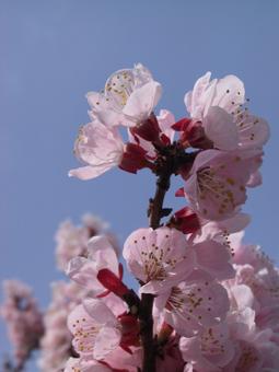apricot_spring.jpg