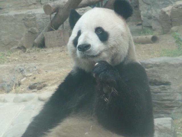 2012年8月北京動物園パンダ1
