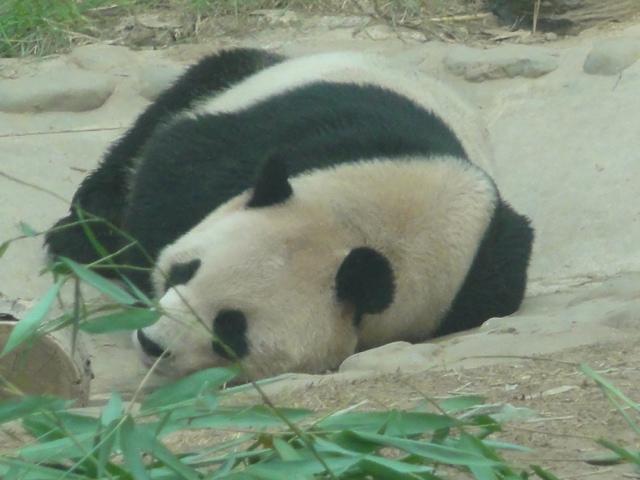 2012年8月北京動物園パンダ2