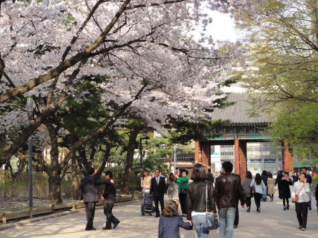 2013年4月21日 夕暮れの徳寿宮 大漢門と桜