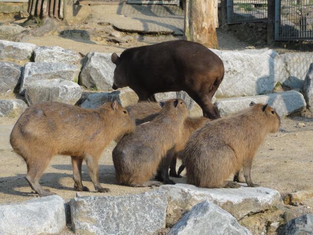 2013年5月4日 ソウル動物園カピバラ1