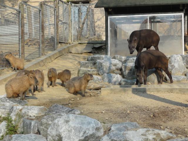 2013年5月4日 ソウル動物園カピバラ2