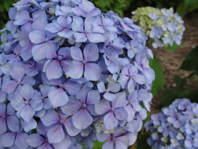 2013年6月 不忍池 紫陽花