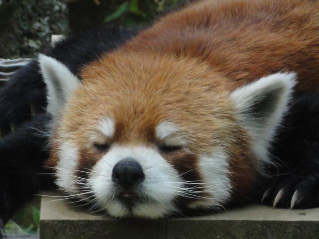 2013年6月千葉市動物公園レッサーパンダ1