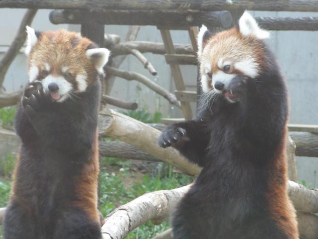 2013年6月千葉市動物公園レッサーパンダ2