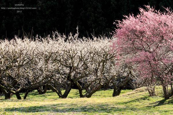 梅と菜の花2