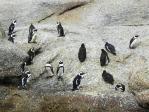 ボルダーズ・ビーチのペンギン(1)