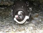 ボルダーズ・ビーチのペンギン(4)