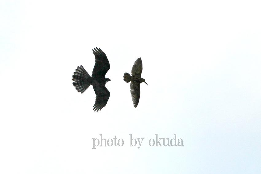 オオタカ&ヤマシギ