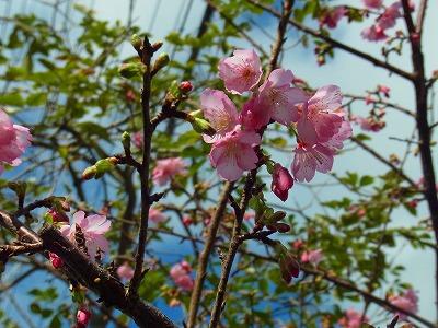 ソメイヨシノより濃いピンクがきれいねー♪