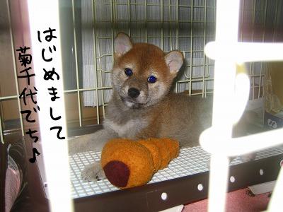 菊千代ちゃん