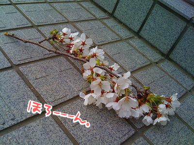 会社の玄関に誰かが置いていった桜一枝