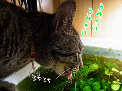 行灯の油ならぬ水草用水槽のお水を舐める化け猫が