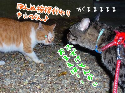 地域猫のトラちゃん