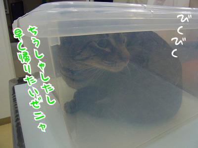 体重は5.8キロ!! と日本猫にしてはガチムチゆべちゃん。