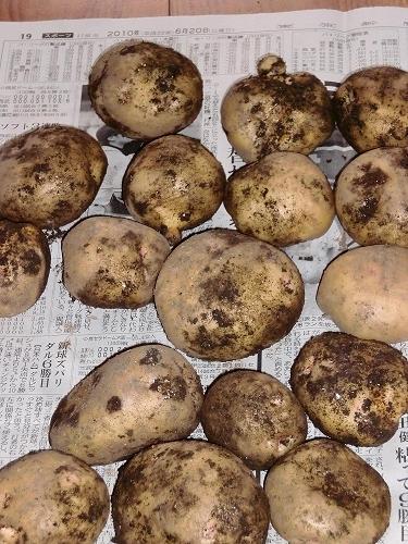 無農薬のおいしいジャガイモ