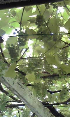在りし日の美しきブドウ棚