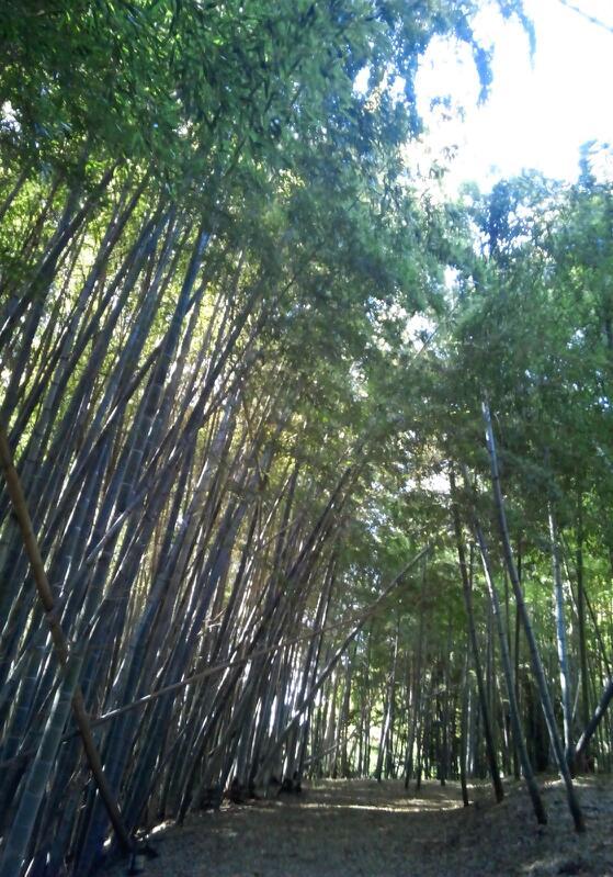竹藪のなかは神秘的