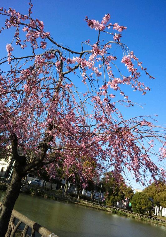 唯一咲いていた枝垂れ桜