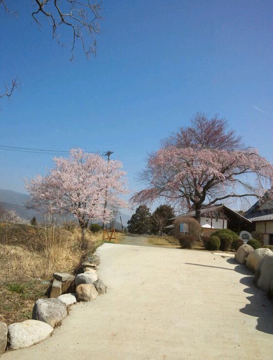 杵原学校入口の桜もきれい