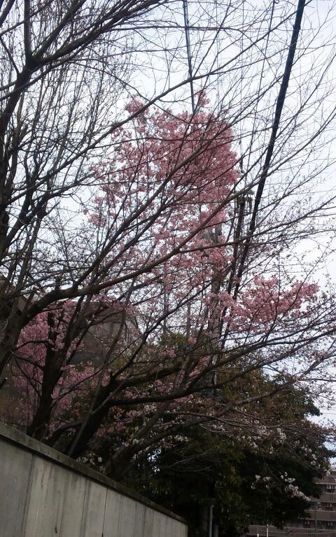 濃い目のピンクがかわいい桜