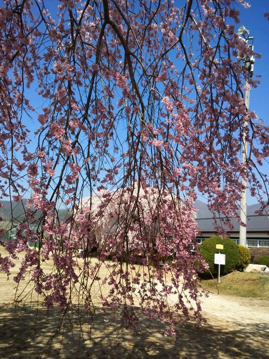 枝垂れ桜の枝越しに