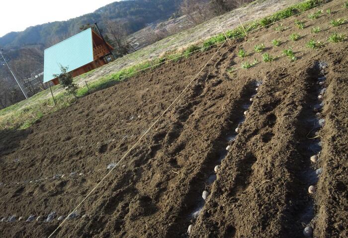 今年のジャガイモの植え付け2