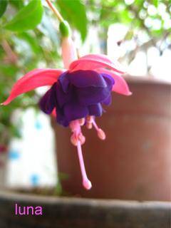 吊#38047;花