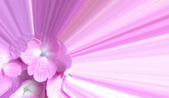 ajisai_pink_s.jpg