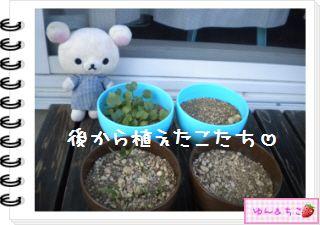 ちこちゃんの観察日記2012★12★謎の野菜5-3