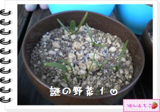 ちこちゃんの観察日記2012★12★謎の野菜5-4