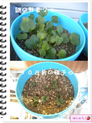 ちこちゃんの観察日記2012★12★謎の野菜5-5
